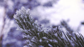 Pine Needles With Snow and Ice - Close-up Stock Photography