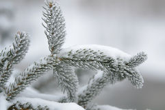 Pine needles in the snow Royalty Free Stock Photos