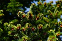 Pine, Needles, Tap, Periwinkle Stock Photos