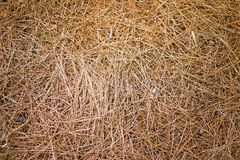 Pine Needles Texture. A forest floor of soft pine needles stock photo