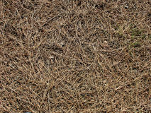 Pine needles texture Royalty Free Stock Image