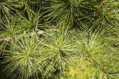 Pine Needles. On a tree branch Royalty Free Stock Images