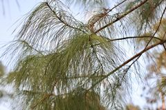 Pine needles on a tree Royalty Free Stock Photography