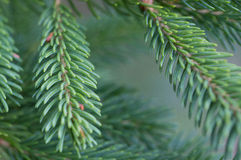 Pine Needles Stock Images