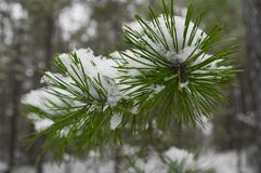 Pine needles under snow Royalty Free Stock Image