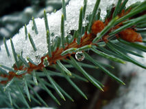 Pine needles under snow with water drop on it Royalty Free Stock Photography