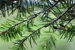 Pine needles. Water droplets on a pinetree after a summer rain royalty free stock images
