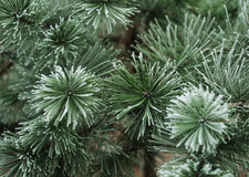 Pine needles in winter Stock Photos