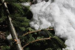 Pine Needles in Winter Snow. A branch of pine needles in the winter snow Stock Photo