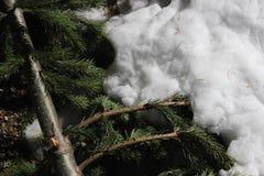 Pine Needles in Winter Snow Stock Photo