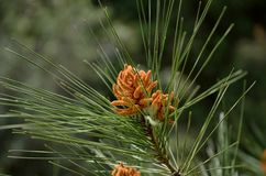 Pine needles Royalty Free Stock Images