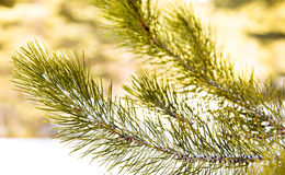 Pine needls and snow background Royalty Free Stock Photo