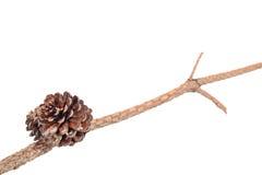 Pine nut Royalty Free Stock Image