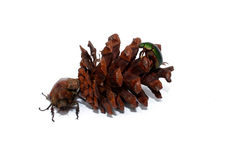 Pine nuts and dried beetles Stock Images