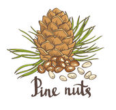 Pine nuts and pine cones. Hand drawn vector illustration. Royalty Free Stock Photos