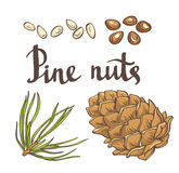 Pine nuts and pine cones. Hand drawn vector illustration. Stock Photos