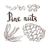 Pine nuts and pine cones. Hand drawn vector illustration. Isolated objects Stock Images