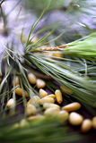 Pine nuts with pine tree branch Stock Photo