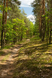 Pine-oak forest in summer. Sandy road curving among pines and oaks in the forest. Beautiful, sunny summer day in Poland. Vertical view stock images