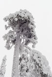 Pine. Old pine tree is covered with snow and frost Stock Photo