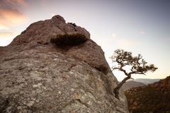 Pine On A Rock Stock Image