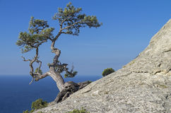 Pine On A Rock Against The Blue Sky. Crimea. Royalty Free Stock Photography