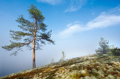 Pine over a fog. Fog over a water surface in Ladoga lake Royalty Free Stock Image
