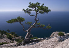 Pine over the sea Stock Photos