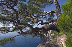 Pine Over The Sea Royalty Free Stock Image