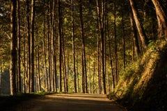 Pine of Pang Oung. Mae Hong Son, Thailand Stock Photos