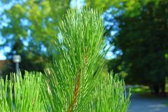 Pine in the park close-up summer sun royalty free stock image