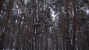 Pine park snowy winter. Coniferous forest in winter frosty day. Slow motion.  stock video footage