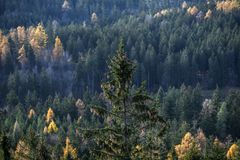 Pine with pine cones on the background of forest in Karkonosze,. Poland Royalty Free Stock Image