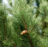 Pine with a pinecone Royalty Free Stock Photography