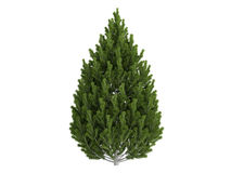 Pine_ (Pinus_leucodermis) Royalty-vrije Stock Afbeeldingen