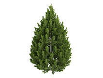 Pine_(Pinus_leucodermis) Stock Photo