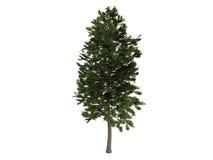 Pine_ (Pinus_sylvestris) Royalty-vrije Stock Fotografie