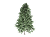 Pine_ (Pinus_sylvestris) Stock Fotografie