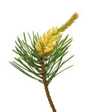 Pine (Pinus sylvestris) branch. Isolated on white background Royalty Free Stock Images