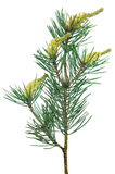 Pine Pinus sylvestris branch. Isolated on white background Royalty Free Stock Images