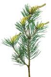 Pine Pinus sylvestris branch Royalty Free Stock Images