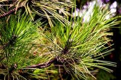 Pine (Pinus sylvestris). Detail of coniferous tree branches, Czech Republic Royalty Free Stock Photography