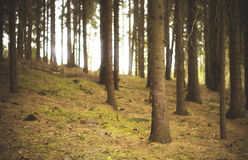 Pine (pinus) trees royalty free stock photos