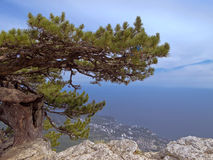 Pine -Plane on the plateau of AI-Petri mountain.Views of the sea and the city from above.  Royalty Free Stock Photography