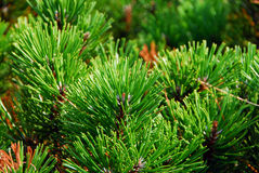 Pine plant Royalty Free Stock Photo