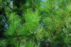 Pine plant Stock Images