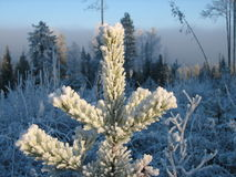 Pine plant (winter) Royalty Free Stock Photo