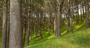 Pine Plantation. MW: Pine plantation with green grass underfoot on sloping ground Royalty Free Stock Images