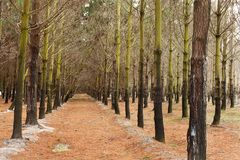 Pine Plantation Royalty Free Stock Photography