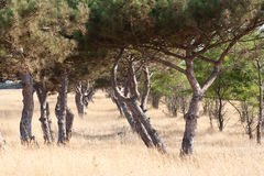 Pine plantation Stock Photo